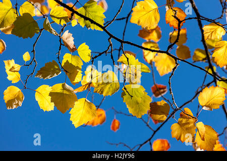 Fall leaves against blue sky. - Stock Photo