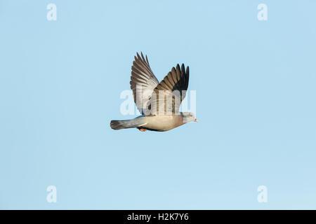 Single male Stock Dove Columba oenas in flight against blue sky - Stock Photo