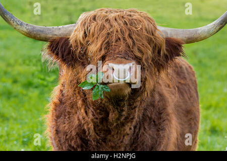 Unfiltered version of leaves chewing highland cattle bull with iron nose ring on a green meadow. - Stock Photo