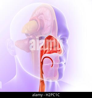 Illustration of the anatomy of the human nasal cavity. - Stock Photo