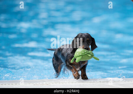 Dog, Dachshund, fetching toy out of swimming pool, blue water - Stock Photo