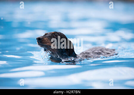Dog, Dachshund, swimming in a swimming pool, blue water - Stock Photo