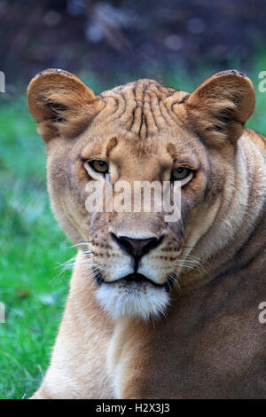 African Lion, Panthera leo, at the Cape May County Zoo, New Jersey, USA - Stock Photo