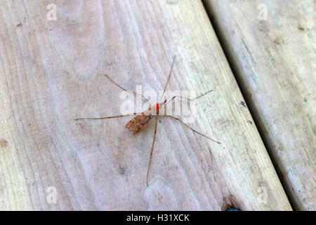 Crane Fly With Orange Eggs On Her Back - Stock Photo