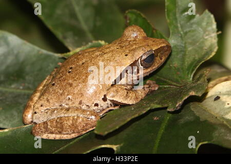Asian Common Tree Frog or Four-lined tree frog (Polypedates leucomystax), aka Golden Gliding Frog or Flying Leopard - Stock Photo