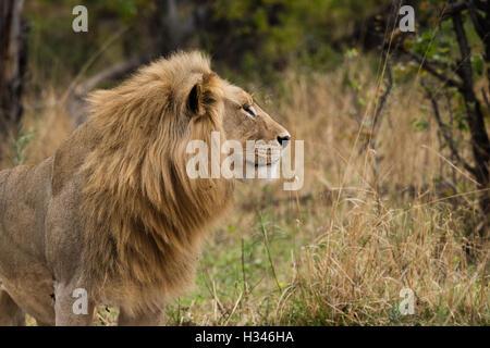 Male Lion (Panthera leo) Profile in lush surroundings, Okavango Delta, Botswana - Stock Photo