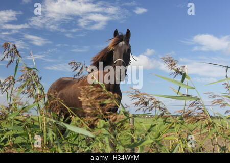 Beautiful Frisian stallion running free. - Stock Photo