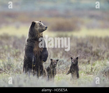 Grizzly bear sow and two cubs of the year all standing up on their hind legs, Yellowstone National Park, Wyoming, - Stock Photo