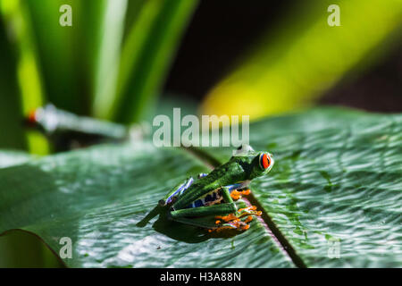 Close-up of two Red Eyed Tree Frogs on a leaf in the Finca Verde area of Costa Rica. - Stock Photo