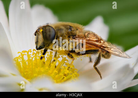 Extreme magnification - Bee pollinating, side view - Stock Photo