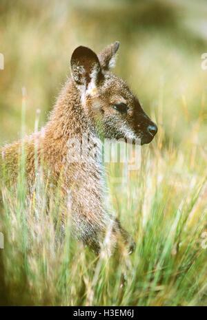 Bennett's wallaby (Macropus rufogriseus rufogriseus), in grass. Cradle Mountain-Lake St Clair National Park, Tasmania, - Stock Photo