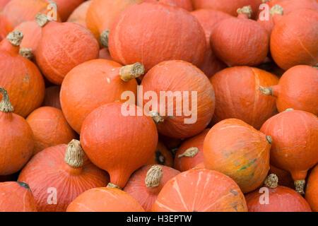 Cucurbita, Red kuri Pumpkin - Stock Photo