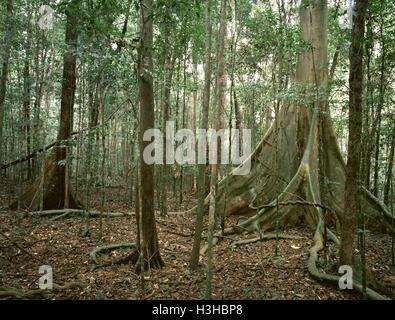 Variegated fig (Ficus variegata) - Stock Photo