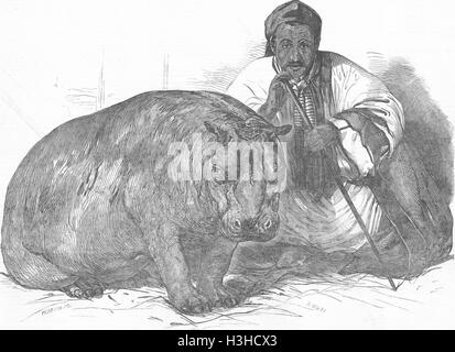 ANIMALS London Zoo Hippo, Gdns of Regent's Park 1850. Illustrated London News - Stock Photo