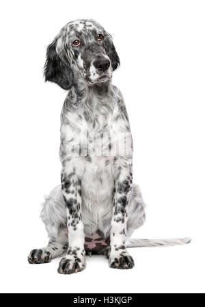 Cute 4 months old blue belton english setter female puppy dog - Stock Photo