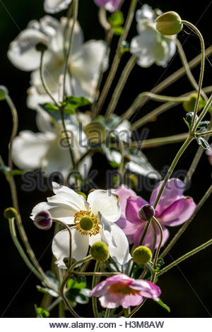 Anemone hupehensis var. japonica, known as the Chinese anemone or Japanese anemone, thimbleweed, or windflower - Stock Photo