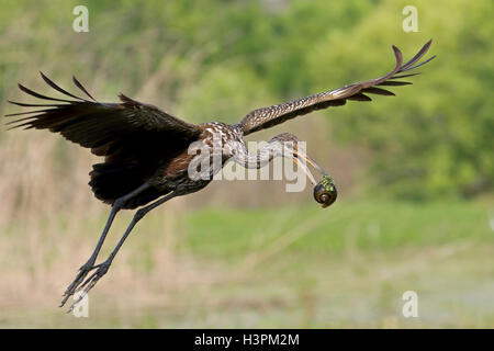 Limpkin Aramus guarauna in flight with an Apple snail in its bill - Stock Photo