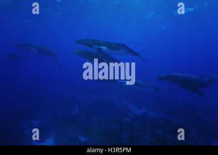 Group of humpback whales, Megaptera novaeangliae, underwater in the Pacific ocean, Rurutu island, Austral French - Stock Photo