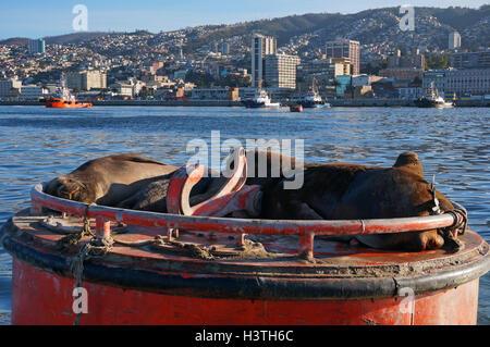 Sea lions, Valparaiso, Chile - Stock Photo