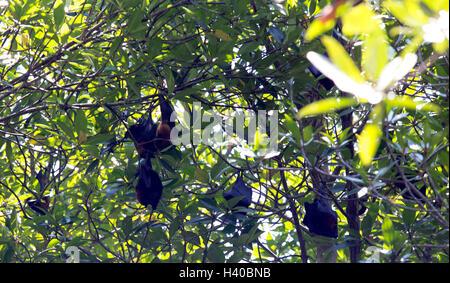 giant fruit bat on tree, Indonesia - Stock Photo