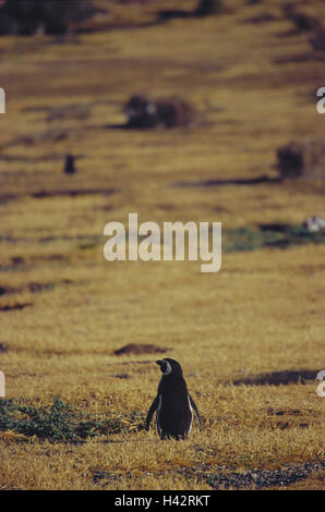 Argentina, Trelew, Punta Tombo, Magellan penguin, Spheniscus, magellanicus, South America, place of interest, nature, - Stock Photo