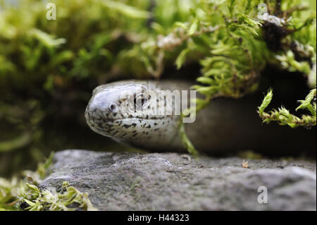 Blindworm, Anguis fragilis, Slow-worm, portrait, - Stock Photo