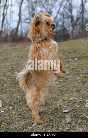 Meadow, hybrid dog, Hinterpfoten, stand, side view, mammal, dog, pet, animal, well, educated, well-bred, attention, - Stock Photo