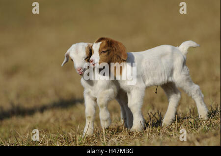 Boer goats, two kids, - Stock Photo