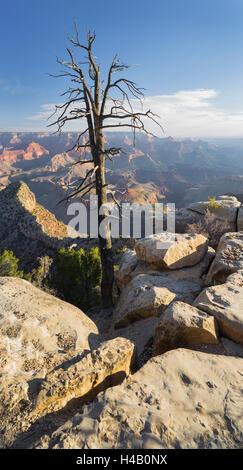 Old tree, Grand View Point, Grand Canyon National Park, Arizona, USA - Stock Photo