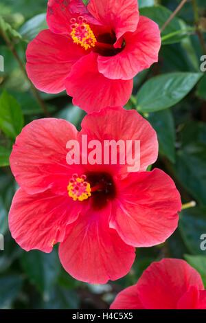 Hibiscus rosa-sinensis ( Chinese hibiscus, China rose, Hawaiian hibiscus, shoeblackplant) - Stock Photo