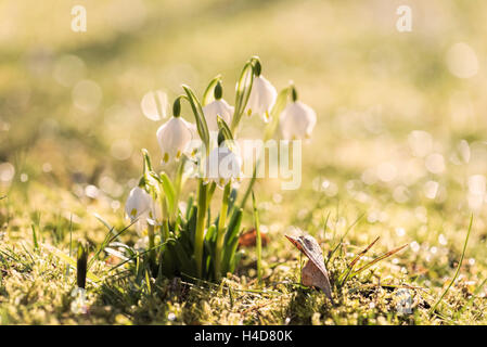 Snowflake in a meadow, early in the morning, dew on blossoms glitters in the back light, close-up, - Stock Photo