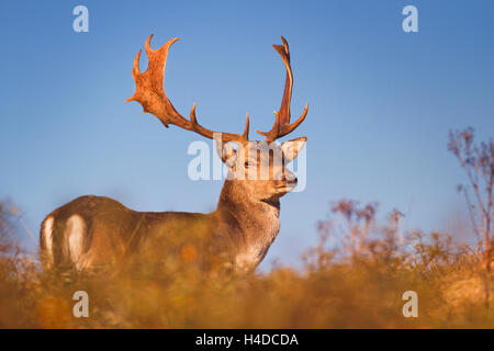 A wild male fallow deer in early morning sunlight. Photographed in autumn in rut season in The Netherlands. - Stock Photo
