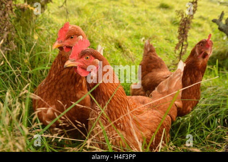 three brown free range chickens in long grass - Stock Photo