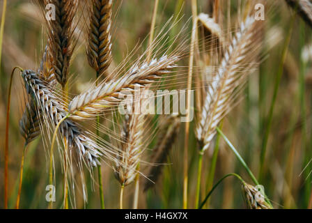 Close up of the ears of wheat growing in a field - Stock Photo