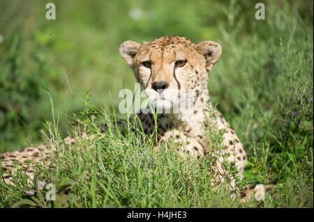 Cheetah sitting in grass (Acinonyx jubatus), Serengeti National Park, Tanzania - Stock Photo