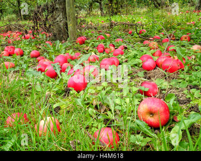 English autumn orchard of fallen ripe and rotten red apples lying on the ground under the trees in grass - Stock Photo