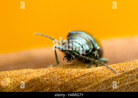 Green Flea beetle: they are called flea beetles because when in danger, they jump like fleas. Macro photo at around - Stock Photo