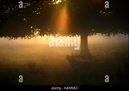 Red deer stag calling in early misty morning at sunrise, under a tree and light rays, Richmond Park, London, UK. - Stock Photo