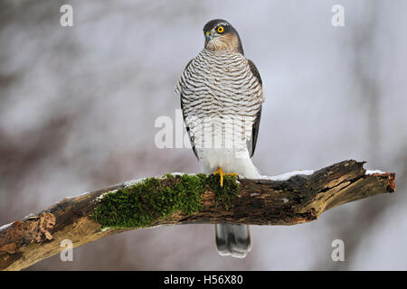 Sparrowhawk / Sperber ( Accipiter nisus ), female in winter, perched on a rotten snow covered tree. - Stock Photo