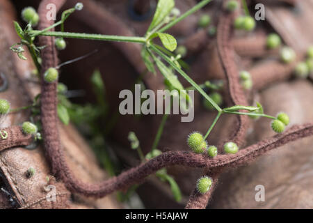 Goosegrass or Cleavers (Galium aparine). Hooked barbs on fruits, attached to laces on leather walking shoe. Seed - Stock Photo