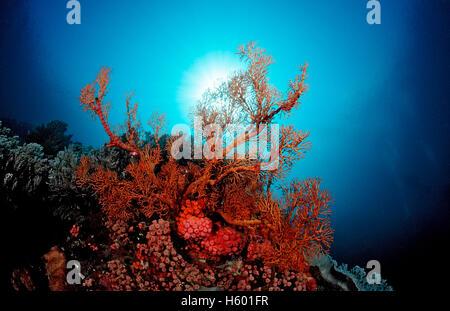 Coral reef with Sea Fan (Gorgonaria sp.), Komodo, Flores, Indonesia, Southeast Asia - Stock Photo