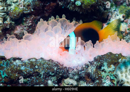Red and black anemonefish (Amphiprion melanopus) in Bubble tip anemone (Entacmaea quadricolor).  Orange/red fluorescing. - Stock Photo