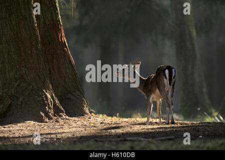 Fallow Deer / Damhirsch ( Dama dama ) standing on a clearing, dark woods, flehming, threatening in spotlight, typical - Stock Photo