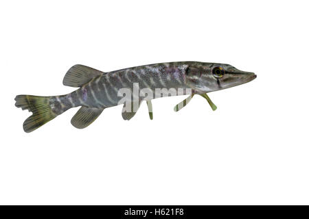 Pike, Esox lucius, single fish in water - Stock Photo