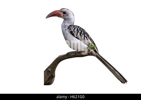 Red-billed hornbill, Tockus erythrorhynchus, single bird on branch,Tanzania - Stock Photo