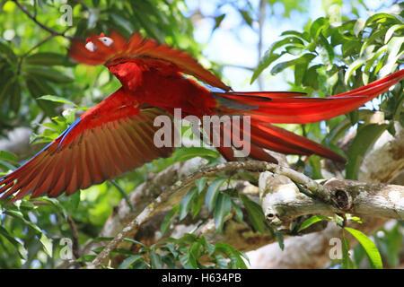 Scarlet Macaw (Ara macao) flying. Guanacaste, Costa Rica. November 2013. - Stock Photo