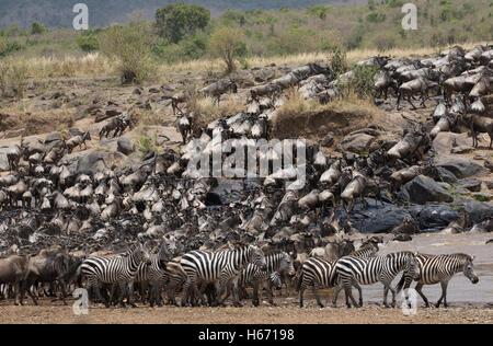 Herds of wildebeest crossing Mara River Masai Mara Kenya - Stock Photo