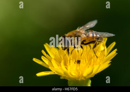 A Bee collecting nectar on a yellow flower - Stock Photo
