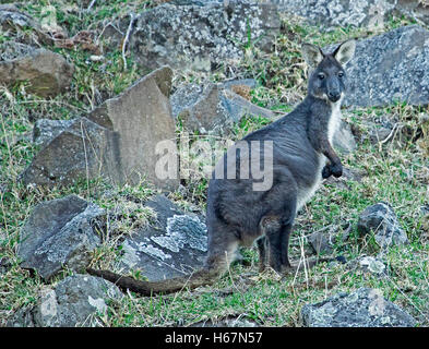 Australian wallaroo, Macropus robustus, in the wild, with dark grey fur & unusual white chest, alert & staring at - Stock Photo