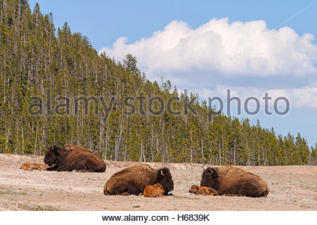 Three American bison (Bison bison) rest with their calves on an open field in Yellowstone National Park, Wyoming. - Stock Photo